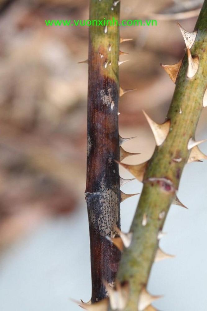 Bệnh đen thân trên cây Hoa Hồng